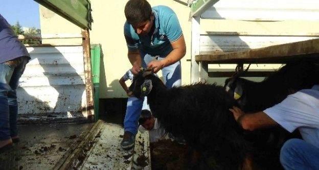 Kulp'ta genç çiftçiye 40 kıl keçisi verildi