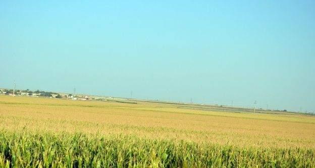 Viranşehir'de terör nedeniyle mısır ekimine kısıtlama getirildi