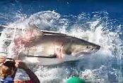 Köpekbalığı Kafese Girdi